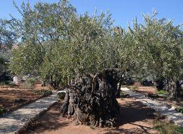 Оливе 2000 лет