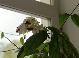Цветут Слёзы Христа