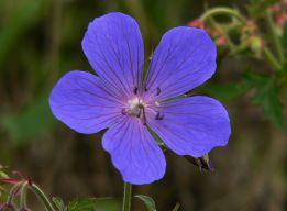 Лазоревый цветок